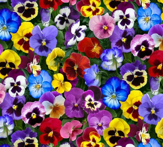 Lovely Pansies Flowers by Elizabeth studio